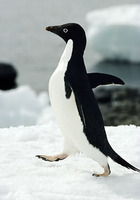 Photo: An Adélie penguin walking on snow