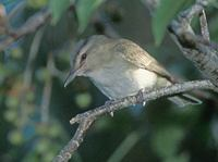 Black-whiskered Vireo (Vireo altiloquus) photo
