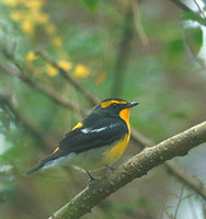 Narcissus Flycatcher (Ficedula narcissina) photo