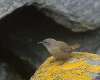 House Wren (Troglodytes aedon) photo