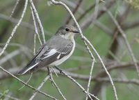 Collared Flycatcher (Ficedula albicollis) photo