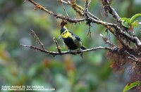 Yellow-cheeked Tit - Parus spilonotus