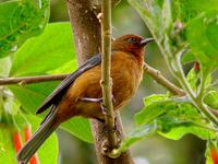 Rufous-browed Conebill Flickr