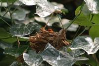 Red Headed Oriole on Nest