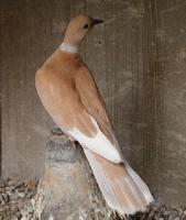 Ring neck dove -  Streptopelia risoria