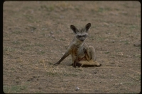 : Otocycon megalotis; Bat Eared Fox