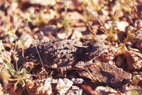 : Phrynosoma platyrhinos calidiarum; Desert Horned Lizard