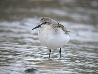좀도요 Calidris ruficollis | red-necked stint
