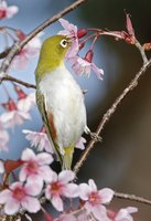 Chestnut-flanked White-eye  MG 4025.JPG