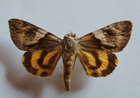 Catocala fulminea - Yellow bands underwing