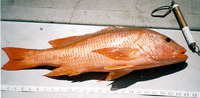 Lutjanus colorado, Colorado snapper: fisheries
