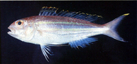 Nemipterus thosaporni, Palefin threadfin bream: fisheries