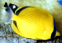 Chaetodon semeion, Dotted butterflyfish: fisheries, aquarium