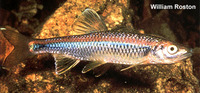 Cyprinella caerulea, Blue shiner: