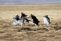 Image of: Grus grus (common crane), Grus nigricollis (black-necked crane)