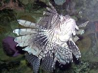 Image of: Pterois volitans (firefish)