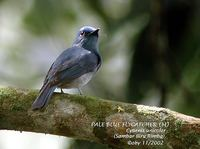Pale Blue Flycatcher - Cyornis unicolor