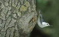 White-breasted Nuthatch (Sitta carolinensis) photo