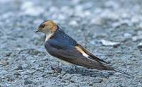 Red-rumped Swallow (Hirundo daurica) photo