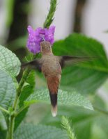 Stripe-throated Hermit - Phaethornis striigularis