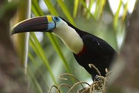 Red-billed Toucan - Ramphastos tucanus