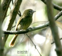 Eye-ringed Flatbill - Rhynchocyclus brevirostris