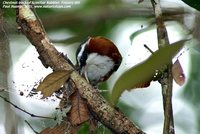 Chestnut-backed Scimitar-Babbler - Pomatorhinus montanus