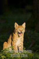 European lynx ( Lynx lynx ) stock photo
