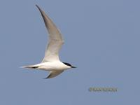 Gull-billed tern C20D 03440.jpg