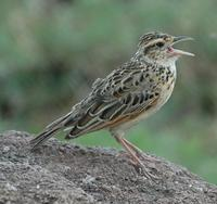 Rufous-naped Lark p.280
