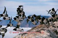 FT0179-00: Little Auks in flight. Dovekies. Savissivik Greenland