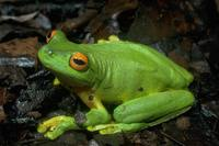 : Litoria xanthomera; Orange-thighed Frog