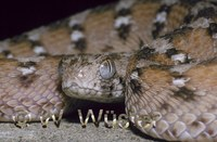 : Echis ocellatus; Saw-scaled Viper