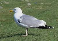 Mongolian Gull. Photo © A. Braunlich