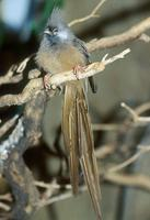 Colius striatus - Speckled Mousebird