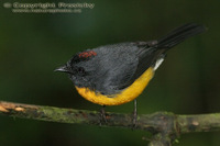 Myioborus miniatus - Slate-throated Redstart