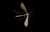 Image of: Pterophoridae (plume moths)