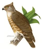 Image of: Aviceda madagascariensis (Madagascan cuckoo-hawk)