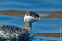 Image of: Podiceps auritus (Slavonian grebe;horned grebe)