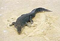Photo: A saltwater crocodile on a beach