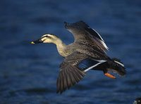 Spot-billed Duck (Anas poecilorhyncha) photo