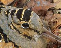 American Woodcock (Scolopax minor) photo