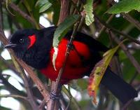 * Scarlet Bellied Tanager