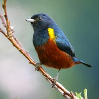 Chestnut-bellied Euphonia (??Nick Athanas)
