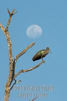 Hadeda Ibis with moon in background stock photo