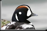 Harlequin Duck, Barnegat Light, NJ