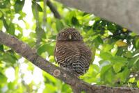 斑頭鵂鶹  	Asian Barred Owlet  	Glaucidium cuculoides