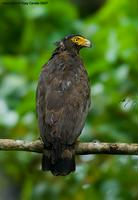 Andaman-Serpent-Eagle