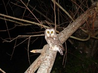 : Aegolius acadicus; Northern Saw-whet Owl