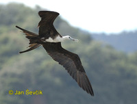 Photo of fregatka vznešená, Fregata magnificens, Magnificent Frigatebird, Fragata Comun
